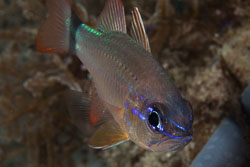 BD-140314-Padre-Burgos-2006-Ostorhinchus-fleurieu.-Lacepède.-1802-[Bullseye-cardinalfish].jpg